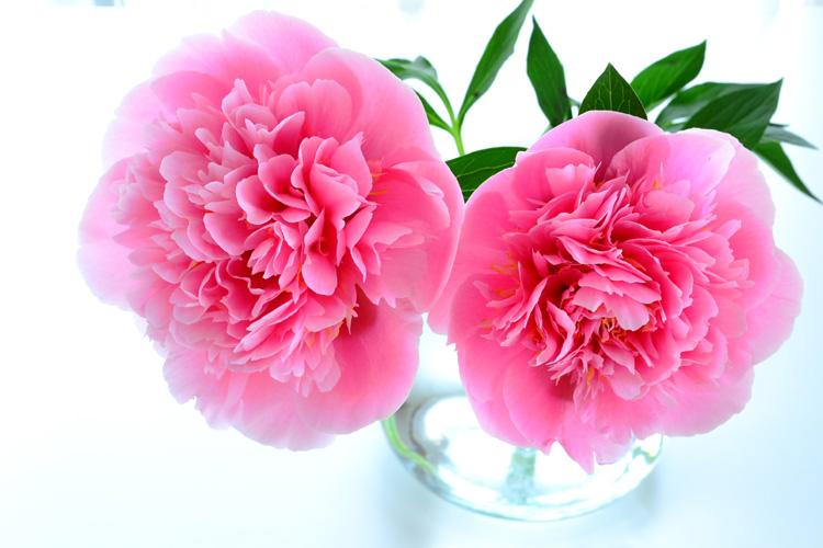 花屋さんでシャクヤクを買ってきた時の扱い方、生け方をご紹介します。
