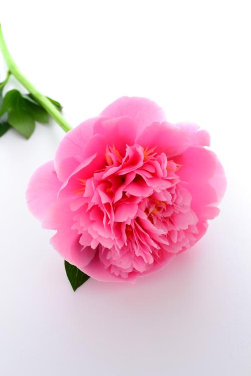 もう少し開いて花芯が見えてきました。華やかな花が咲く予感。