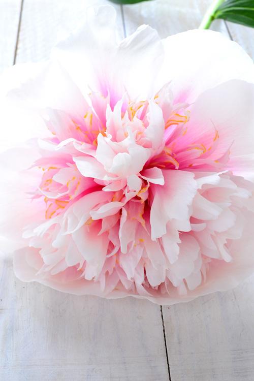 満開から数日後。徐々に満開の初めとは、まったく違った色合いに・・・!びっくりするくらい突如色合いが変わりました。花びらが白から花芯の方向にいくにしたがってピンク色のグラデーションカラーです。全体としてみると、白系にも見えますね。同じ花とは思えない変身ぶり。エッジドサーモンはとても花持ちが良い品種なのでこの日々の変化を楽しめます。