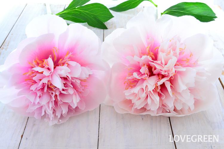 花によって色合いが少しずつ違いがあって、どんな色合いになるかは開いてからのお楽しみなのが、複色カラーの楽しいところです。