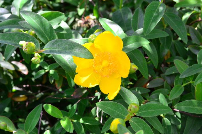 6月に咲く花木は、アジサイを初め、白、ブルー、紫など寒色系が多い中で、はっと人目を引く黄色い花を枝一面に咲かせるキンシバイ(ヒペリカム)は、オトギリソウ科 の半常緑低木。性質が強いので、公園や街路樹の高木の下の低木として植栽されています。