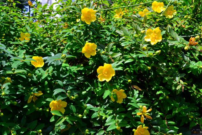 6月の花|キンシバイ(ヒペリカム)