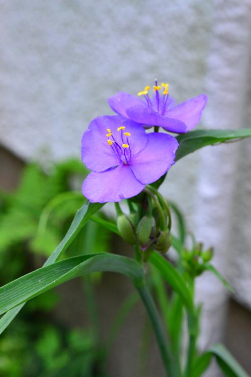 梅雨の時期にしっとりと咲くツユクサはツユクサ科の多年草。とてもたくさんの種類があります。写真はムラサキツユクサ。