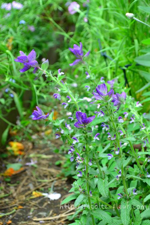 初夏に色づくハーブ、ペインテッドセージ。寄せ植えや花壇の彩りに取り入れてみませんか?