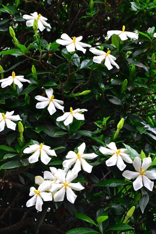 クチナシはアカネ科の常緑低木。湿度が高くて雨が多くなってくる季節に咲くクチナシ。濃厚な甘い香りが漂うのは、気象のせいもありますね。ガーデニアとも呼ばれ、三大香木のひとつです。花は、一重の他、八重もあります。
