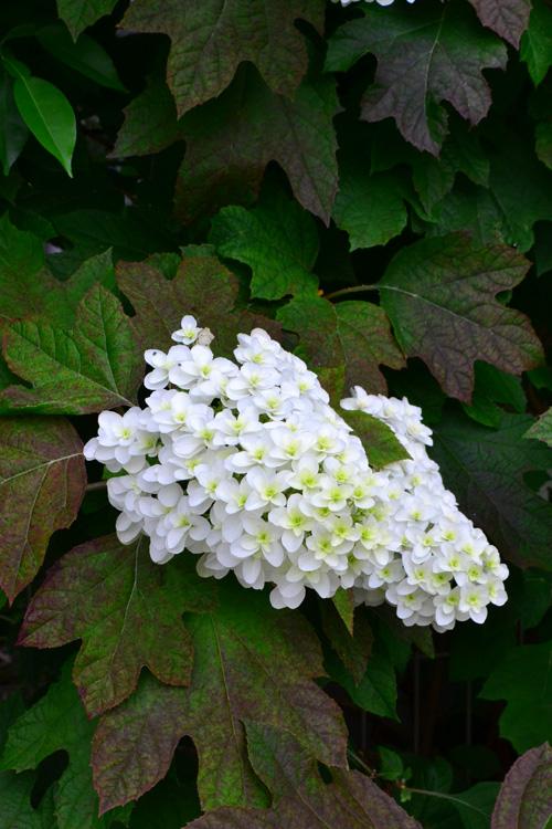 葉っぱが柏の葉に似たアジサイ科の落葉低木、カシワバアジサイ。アジサイの仲間ですが、アジサイの花が丸いのに対して、カシワバアジサイの花はピラミッド型。そのため、別名、ピラミッドアジサイとも呼ばれています。咲き始めの花は、グリーンがかった色から徐々に白に変化していきます。秋の紅葉も素敵です。同じ低木ですが、アジサイよりも花丈は若干高くなります。