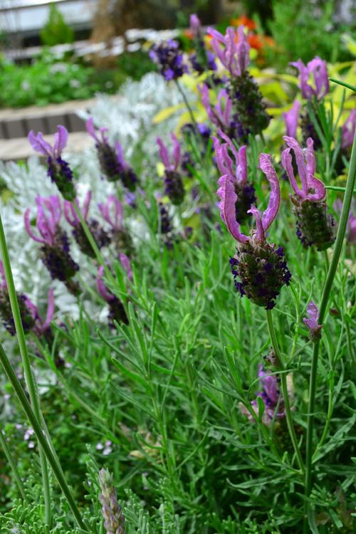 ラベンダーはシソ科の常緑低木のハーブ。初夏に株元からたくさんの花茎が立ち上がり、穂状の小さな花が開花します。とても癒される香りは、アロマテラピーでは万能の精油として人気があります。初めて買ったアロマオイルがラベンダーという方も多いのでは。