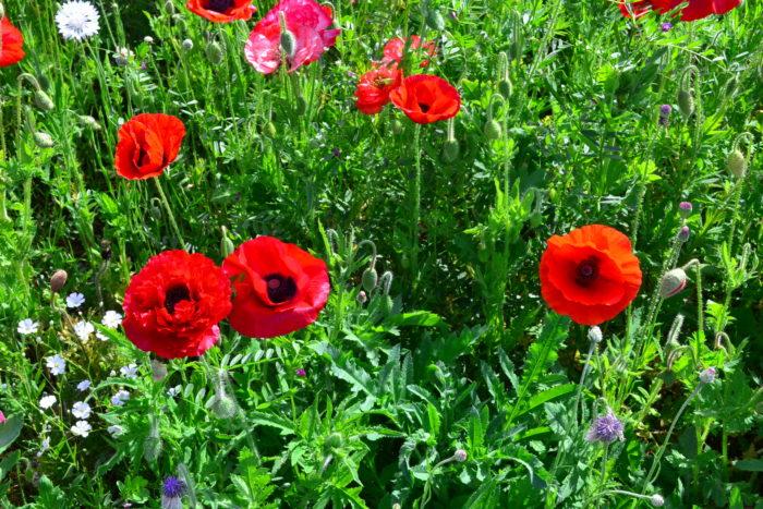 シャーレーポピーの元々の品種の色は赤ですが、最近の園芸種は様々な花色があります。最近はシックな色合いのものも出てきました。