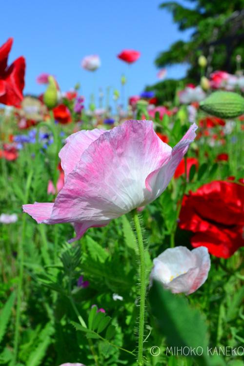 シャーレーポピーの種はとても細かい種です。蒔く時期は9月~10月に蒔きます。ポピーの種は光発芽種子なので、発芽するために光が必要な性質のため、種には覆土はしないで種まきします。  ポピーは直根性で移植を嫌う性質のため、種まきは直まきかポット苗に蒔いて間引く方法が一番簡単な方法です。