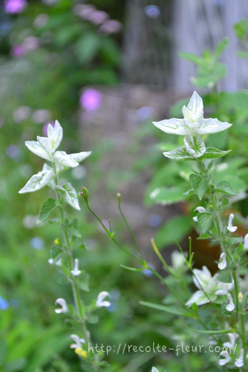 ペインテッドセージは種か苗で購入します。苗は春から初夏の頃に流通しています。