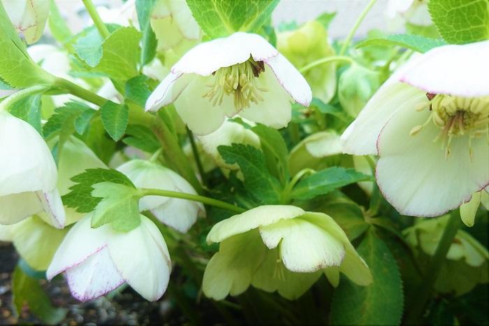 クリスマスローズ(ヘレボラス) 科名:キンポウゲ科  学名:Hereborus  花期:12~3月  特徴:原種のニゲルがクリスマスの頃に咲くためこの名前で呼ばれています。他にもオリエンタリスは品種が豊富で、花は一重から八重咲まであります。花色も白からピンク、紫、黒に近い色、黄色など、非常に豊富です。葉は手のひらのような形で大きく、深いグリーンが印象的です。日陰の植物は葉の華奢なものが多いので、空間を引き締める役割を果たしてくれます。  育て方:夏は日陰、冬から早春は日が当たるような落葉樹の下が一番向いています。鉢植えで管理している場合は移動させましょう。真夏の直射日光で葉焼けを起こします。肥沃な土が大好きですから、腐葉土をしっかり混ぜ込んで植え付けましょう。株で大きくなるのでゆったりとしたスペースを与えてあげると何年も植えっぱなしにできます。 小さな苗で買ってきたクリスマスローズが咲かない、という相談をよくされます。クリスマスローズは、ある程度株が生長しないと花は咲きません。そういう植物です。3~4号のポット苗で購入してきた場合は、開花まで3年は待つ覚悟をしてください。