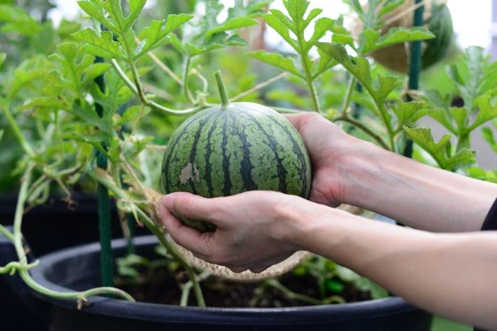 両手で包み込むほどの大きさの小玉スイカが収穫できました。なかなかずっしりとした重みが手に伝わります。