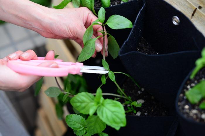 わき芽を増やして収穫量を増やすために、バジルの主茎が3~5節位のところで切り戻し収穫します。わき芽が伸びてきたら同じように3~5節位のところで切り戻しします。