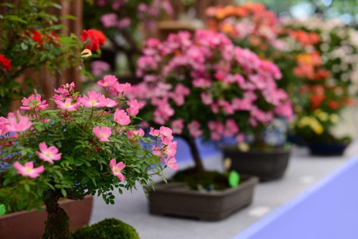 盆栽仕立てのバラは「ロマンチックな花が咲く小さな木」そんなイメージで、普段から想い描いていた盆栽のイメージとは異なり、いつまでも眺めていたくなるような様子が可愛らしかったです。  出品されている作者の皆様が大切に育て上げられた美しさが見事でした。