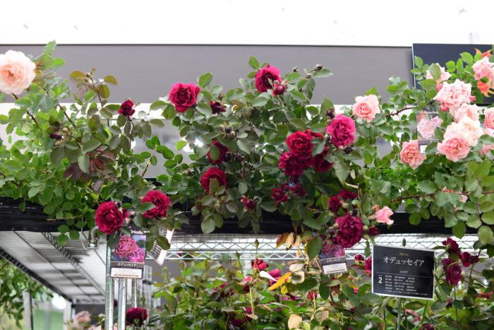 「オデッセイア」  こちらのバラが一番のおすすめとの事で、青みががかった深みのある黒赤は咲き終わりが近づくとさらに深く色変わりし、表情を変えていく姿が素敵なバラだと教えて下さいました。  香りもスパイシーさとフルーツを合わせたような大人っぽい芳香。