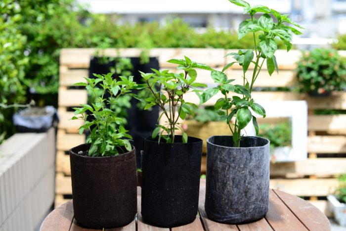 5号鉢で育てた左からライムバジリコ、グルメバジリコ、スイートバジル  最終的にはバジルシードの収穫を目標に通常のバジル栽培からスタートします。  バジルはハーブとしてだけでなく、一緒に育てる作物の生育を良くするコンパニオンプランツとしても人気の植物です。特にミニトマトと一緒に植え付けることで余分な水分をバジルが吸うことにより、ミニトマトを甘くしてくれます。