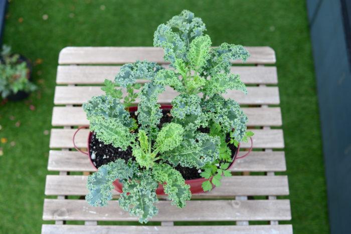 ケールとイタリアンパセリの組み合わせ  春夏野菜を育てる時期にアブラナ科野菜のケールを使って害虫忌避のプランター混植実験をしてみました。  実験したのは3パターン。  ・ケールとセリ科のイタリアンパセリを混植したプランター  ・ケールとシソ科のバジルを混植したプランター  ・ケールだけで育てたプランター  この3つの中で「ケールとセリ科のイタリアンパセリ」で育てたプランターがアオムシの発生が驚くほど少なかった結果が出ました。  じつはイタリアンパセリのような「コンパニオンプランツ」といわれているものについて科学的な根拠による検証が少ないため、効果について強くおすすめできないところがあります。しかし、実際に育ててみた先人たちの数々の経験からみてもコンパニオンプランツを混植することはとてもおすすめなんです。  ※イタリアンパセリの混植は全てのアオムシを忌避するわけではありません。