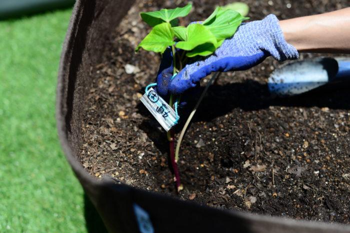 袋栽培で育てる場合、1袋に2苗植え付けることができるためおすすめ。