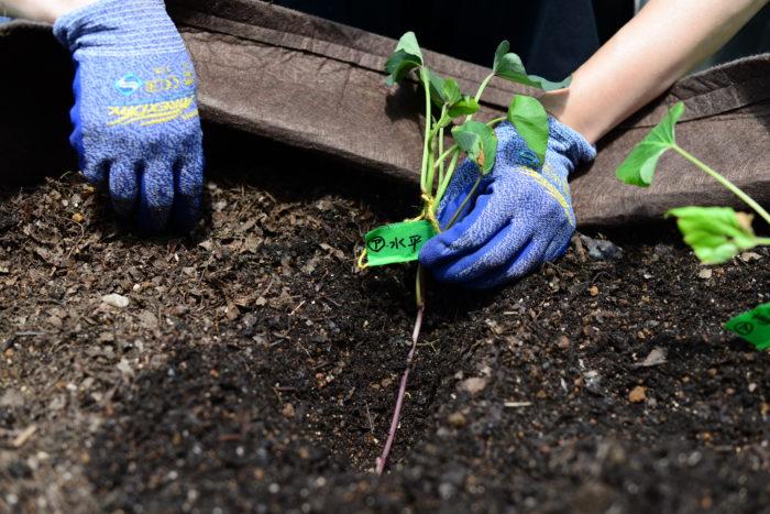 茎を折らないように気を付けて植えましょう。