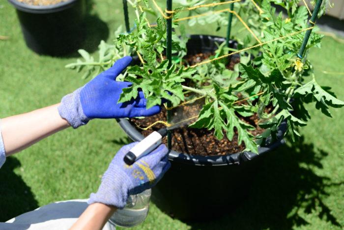新芽の先にアブラムシはいませんか?  日頃から小玉スイカの苗をよく見て確認しましょう。  予防策として、ニーム・木酢液などの希釈液を小玉スイカの苗にスプレーしましょう。スプレーすることで害虫を防ぐだけでなく、葉に栄養も与えることができます。  スプレー後希釈液が余ったら、土にそのまま与えても肥料代わりとなります。