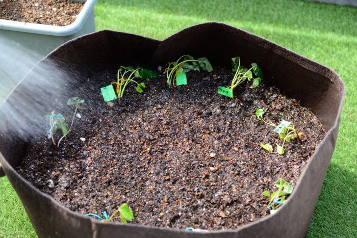 5月24日植え付け  植え付けしたばかりのさつまいもの苗は、当たり前ですがしんなりしています。