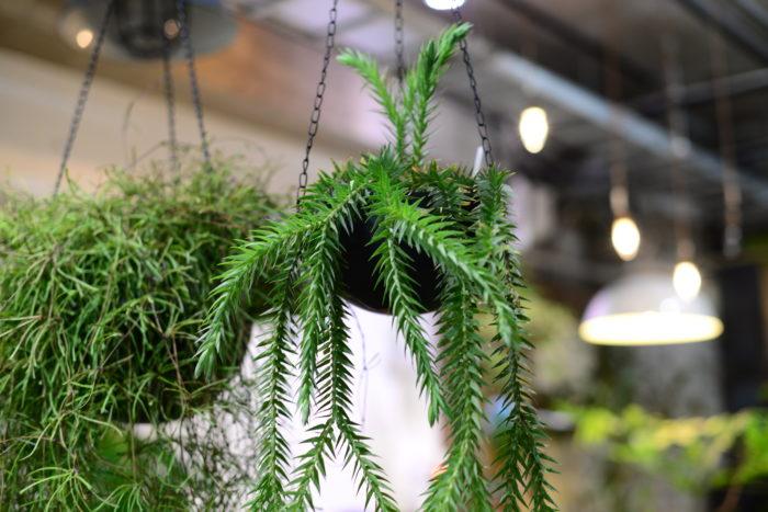 フペルジアゴエベリー  文屋さんが珍しい形に惹かれて仕入れたフペルジアゴエベリー。個性的な植物の形が大好きな方におすすめしたい植物です。