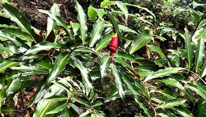 葉の付き方が非常に面白い植物。赤い花序と黄色い花が鳥のように見えます。