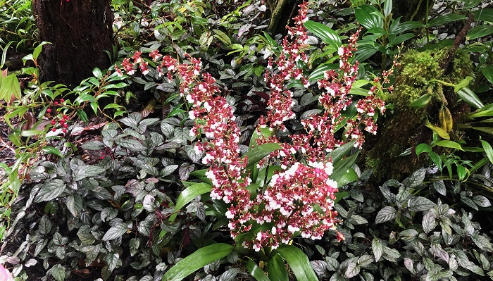 オンシジューム系の蘭でしょうか。花つきが素晴らしいです。