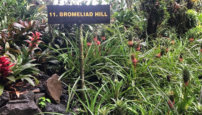 ブロメリアの丘と名付けられた一角は、下にパイナップルがたくさん植わっていました。