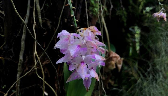 雨に濡れて花びらが半透明になっている蘭、非常にきれいです。