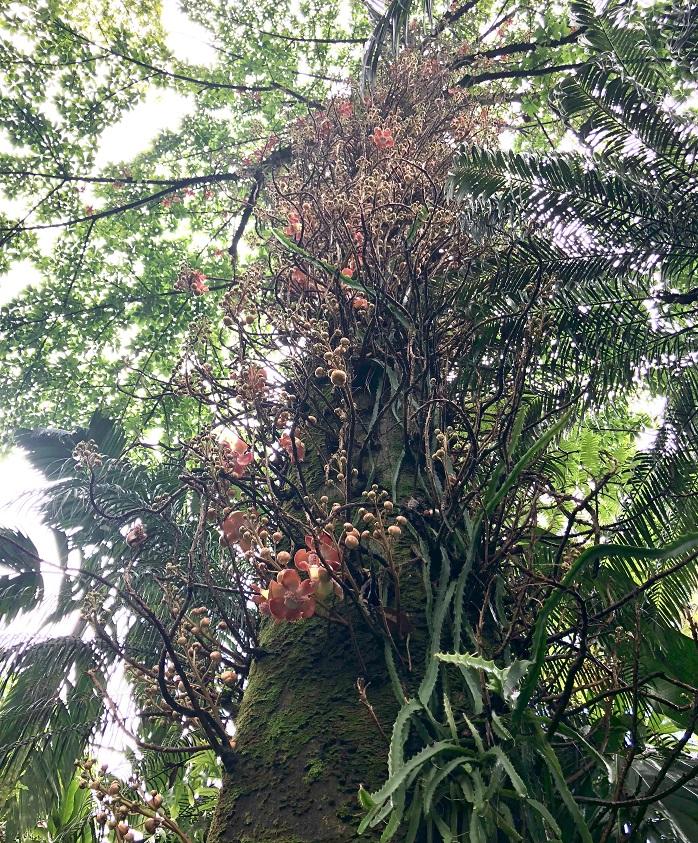 キャノンボールツリー!!!すごく不思議な造形。