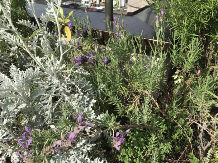 ラベンダー(フレンチラベンダー)  リボンのような花弁がかわいいラベンダーです。  イングリッシュラベンダーに比べると香りはやや弱めです。