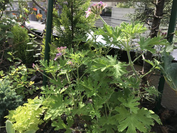 ゼラニウム(ローズゼラニウム)  ローズゼラニウムは他のゼラニウムに比べ葉がギザギザしているのが特徴です。  爽やかなグリーンの香りの中にローズのような優しい香りがします。