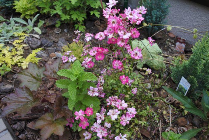 ミニバラ①  バラは綺麗なドライになりやすいです。