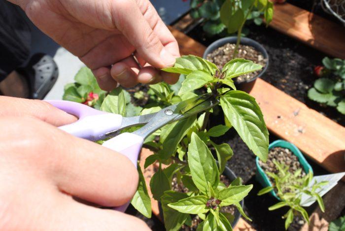 このように先を切ることで花穂が出るのを防ぎ、脇芽が育つので葉がたくさん茂りますよ!