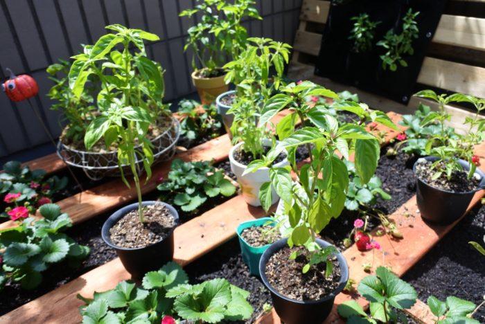 植木鉢に植えられている背が高いものがバジルです。大きく成長しましたね!  摘むのはかわいそうにも思えますが、実はそのままにしておくとすぐに花が咲き養分を花や種に使って株が傷んでしまうんです。