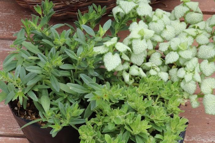 枯れた部分を補う苗を数ポット用意します。  今回はこれから咲くカリブラコアとラミウムの苗を使いましたが、花が咲いている苗を使うと始めから華やかな寄せ植えになります。