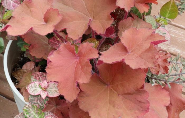 別の寄せ植えを植え替えた時にとっておいたヒューケラの株も使っていきます。