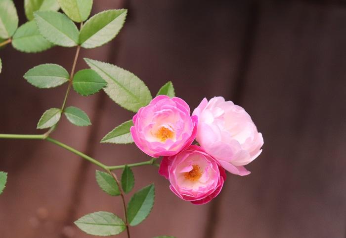 ちなみにこの写真は、昨年近所の方からもらった枝で挿し木をしたつるバラです。