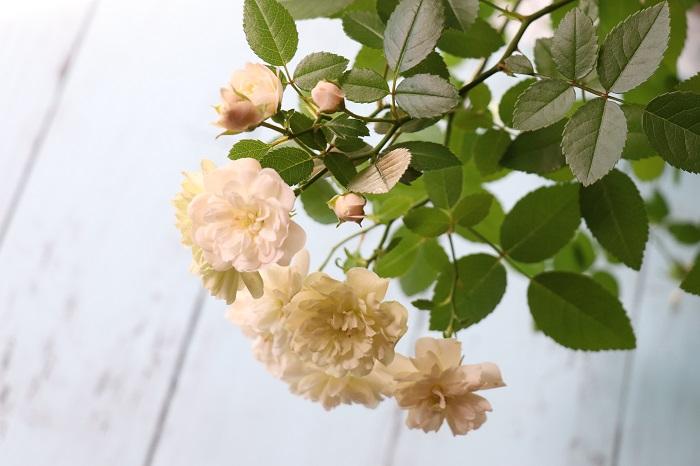 グリーンアイス  四季咲きで花もちがよく、開花後に緑色になるミニバラです。半日陰ではより緑色になります。耐病性が強く、育てやすいです。  このミニバラを使って挿し木をしていきます。