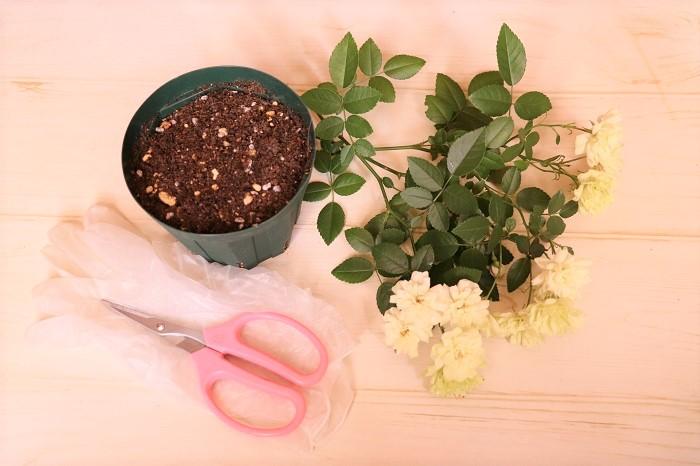 やり方 の の 薔薇 挿し木 【バラの挿し木まとめ 18】なぜ失敗するのか?挿し木のやり方が間違えているのでは?