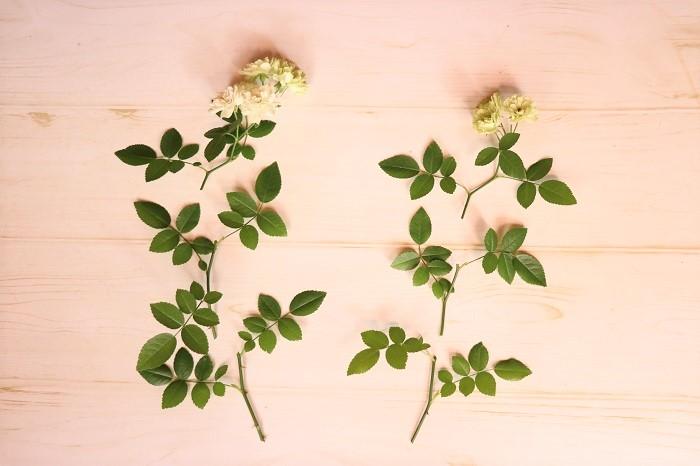 まず、2~3節ずつに切り分けて挿し穂を作ります。花が咲いたすぐ下の部分は使いません。