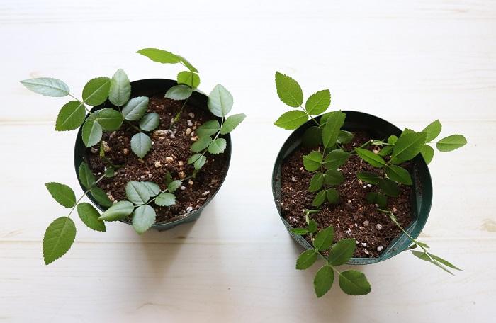 直射日光があたらない明るい日陰に置きましょう。暗すぎる場所も良くありません。  挿し木直後の3日間ほどは毎日お水をあげます。それ以降はいつまでも水が多いと発根する前に挿し穂が腐ってしまう場合があるので、土が乾いてきた様子を見てあげましょう。置く場所と水の管理が一番大切です。  肥料は絶対にあげません。  根が出るまで心配ですが、引っ張って抜いてしまったりせずにちょっと我慢して様子を見守りましょう。  ポットの下から白い根が見えたら、普通の肥料入り培養土を使って鉢上げすることができます。