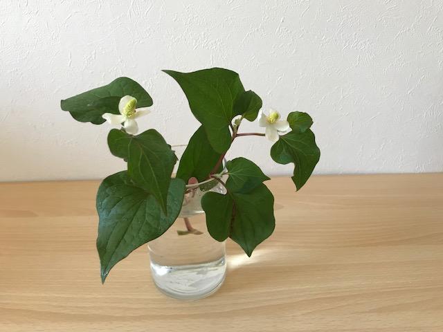 ドクダミ科ドクダミ属の多年草。  乾燥させてお茶にしても美味しいドクダミは日本では江戸時代にドクダミの名がつき現在まで親しまれています。  ドクダミはハート形の大きな葉と優しい肉厚な白色の花びらが可愛らしい植物です。生けたりアレンジに入れたりすると個性的なアレンジになります。