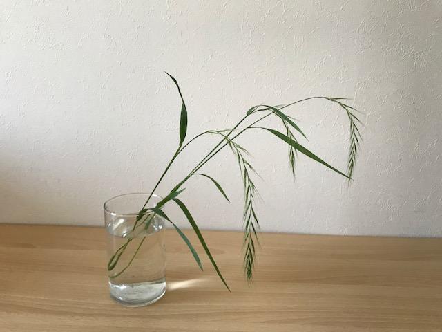 イネ科エゾムギ属の多年草で、初夏を過ぎ雑草が生い茂る季節になると道端でもお馴染みのカモジグサ。  背丈は40㎝から100㎝程になり、風にそよそよと揺れる姿をしています。  花籠にいけると細い茎と勢いのある弓のような形が空間を作り風が通り抜けるような印象を作り出します。