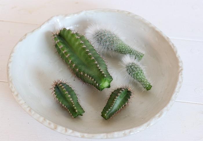 胴切りしたサボテンは、室内でお皿に置いて切り口を乾かし、翌日に市販のサボテン用の配合土に挿しました。