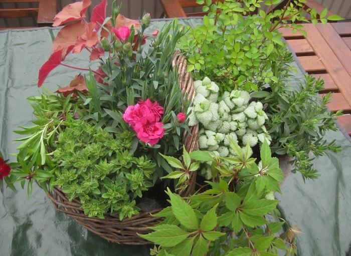 ポリポットに仮置きした苗を、ポットのままかごに配置して植える場所をイメージします。(姫バラ、ナデシコ2種、ヒメヅタを古い寄せ植えから再利用することにしました。)