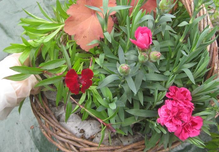 茎の伸びている向きや、花が一番美しく見える方向を見ながら植えていきます。