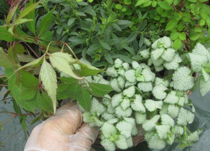 ラミウムは、葉っぱがふんわりとかごの外に伸びていくイメージで植えました。