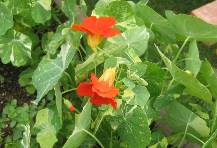 おすすめポイントと特徴 ナスタチウムは咲いたばかりの花や若い葉を生で食します。サラダやサンドウィッチなどに添えると、ピリッとした辛味がアクセントになります。風味がクレソンにも似ています。  育て方のコツ  ナスタチウムは日なたと水はけのよい用土を好みます。摘芯すると分枝が増え、ボリュームアップします。蒸し暑さに弱く、高温多湿時に花を休みますが、短めに切り戻して猛暑を乗り切れば、秋に再び開花します。